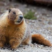 Great groundhog
