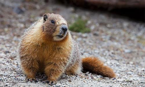 Great groundhog