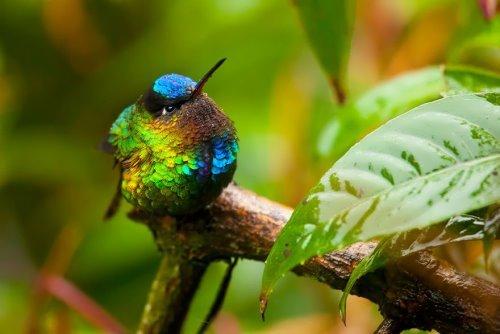 Great hummingbird