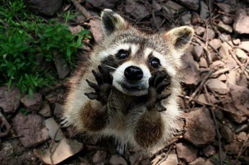 Great raccoon