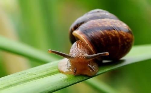 Great snail