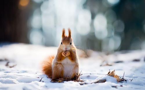 Great squirrel