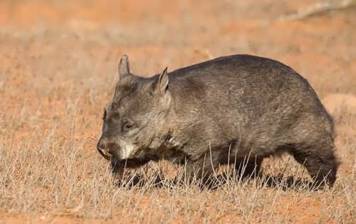Great wombat
