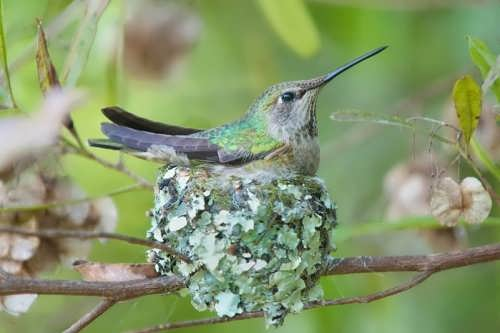 Hummingbird and its nest