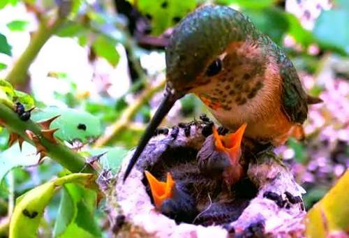 Hummingbird and its young