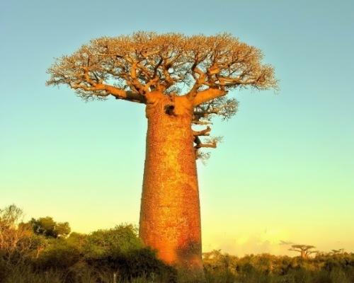 Interesting baobab