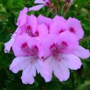 Interesting geranium