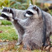 Interesting raccoons