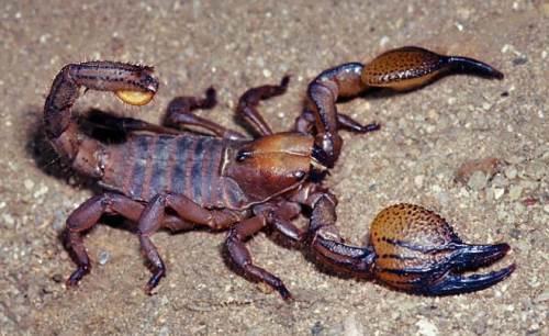 Interesting scorpion