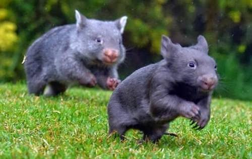 Interesting wombats