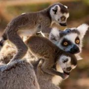 Lemurs are a symbol of Madagascar