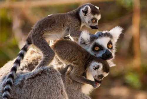 Lemurs are a symbol of Madagascar