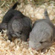 Little chinchillas