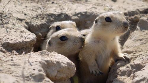 Little groundhogs