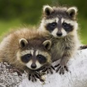 Little raccoons