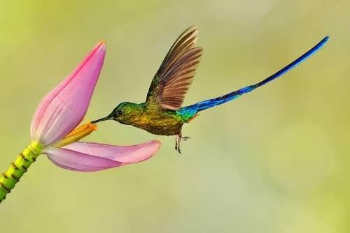 Long-tailed hummingbird