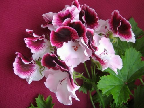 Lovely geranium