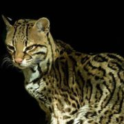 Lovely ocelot