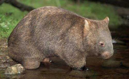 Lovely wombat