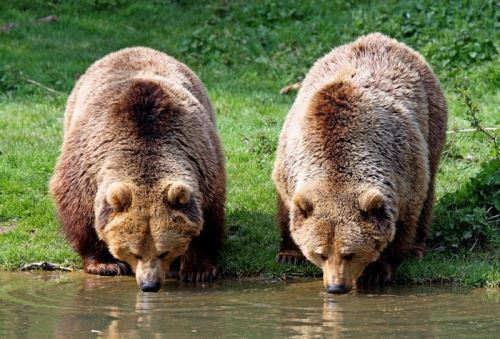 Magnificent bears