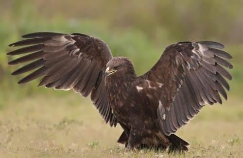 Magnificent eagle