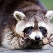 Magnificent raccoon