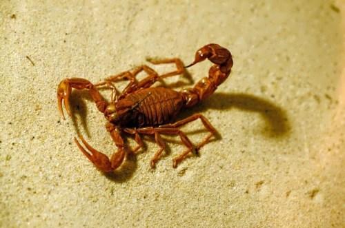 Magnificent scorpion