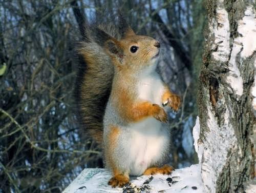 Magnificent squirrel