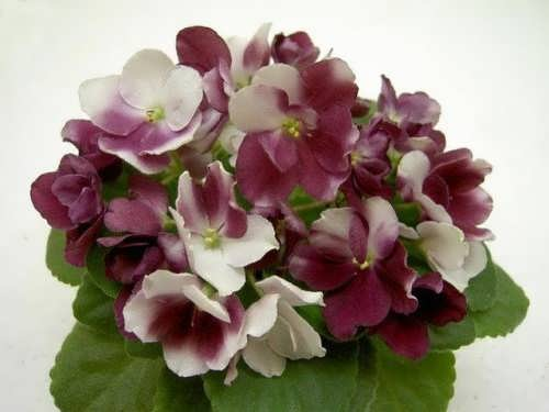 Magnificent violets