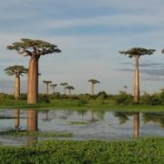 Majestic baobabs