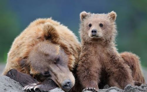 Majestic bears