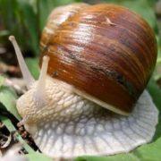 Majestic snail