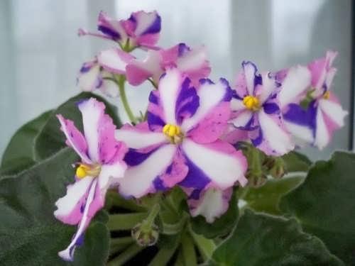 Majestic violets