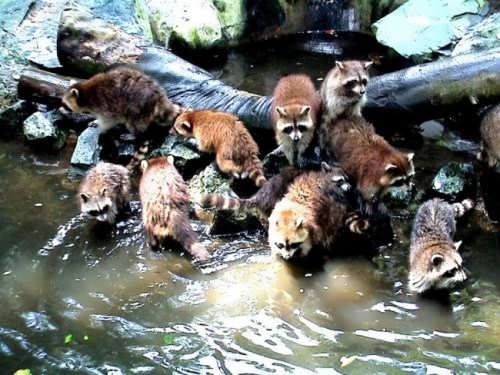 Many racoons on the bank