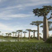 Pretty baobabs