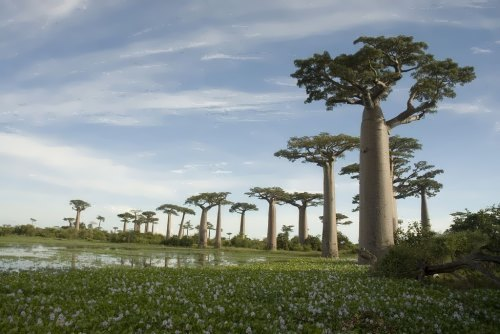 Pretty baobabs