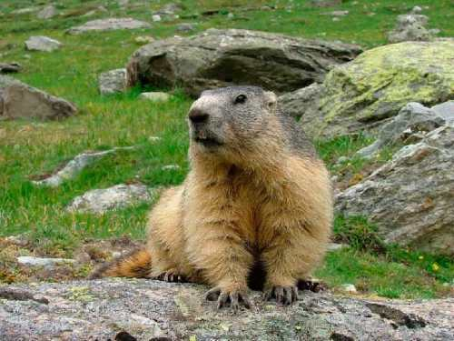 Pretty groundhog