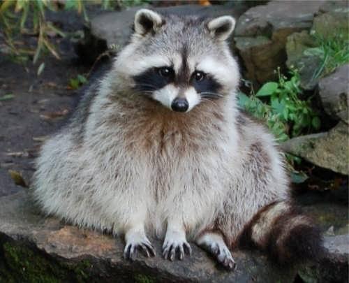 Pretty raccoon