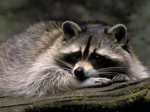 Raccoon - Masked Bandit