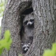 Raccoon in the hollow