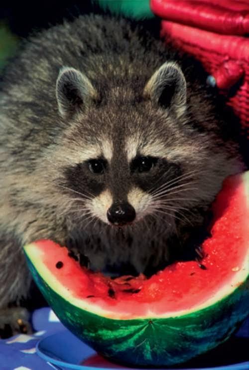 Raccoon is eating watermelon