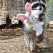 Raccoon with a toy