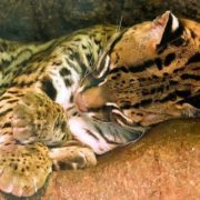 Sleeping ocelot