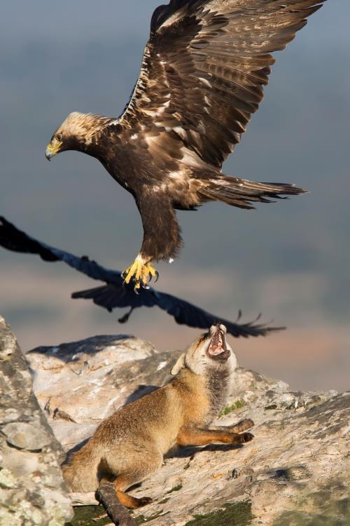 Spanish imperial eagle and fox