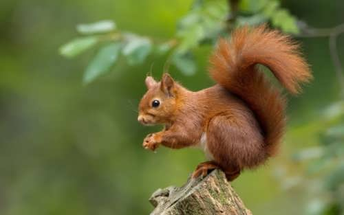 Squirrel – rodent with bushy tail