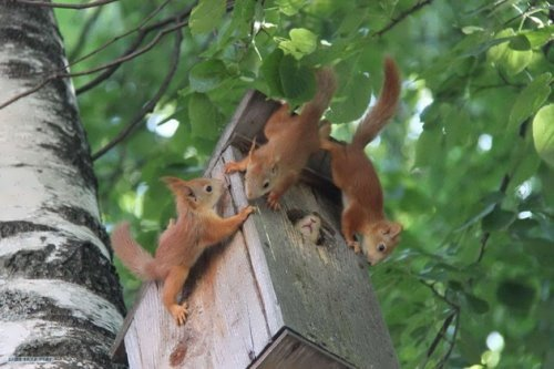 Squirrels in a birdhouse