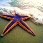 Starfish – star animal