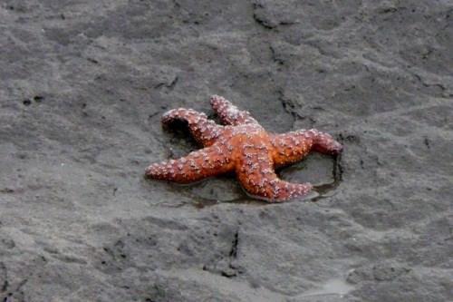 Starfish ashore