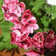 Stunning geranium