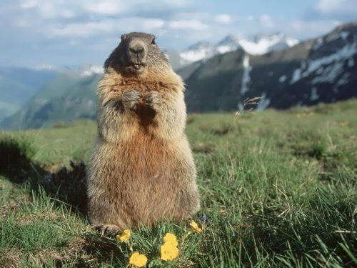 Stunning groundhog